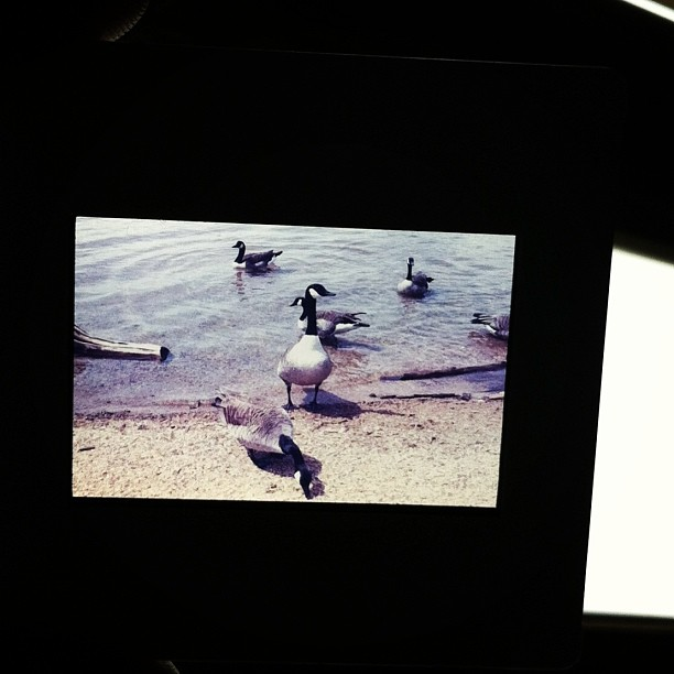 Ducks at the reservoir. Ektachrome.