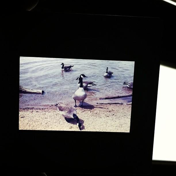 Ducks at the reservoir. Ektachrome.