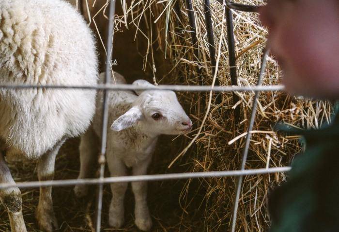 lamb21