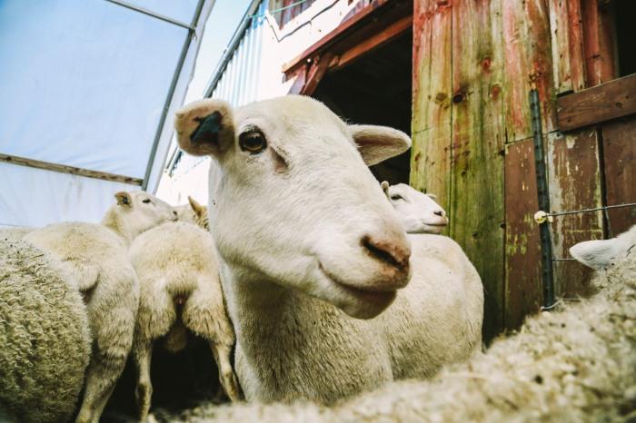 lamb24
