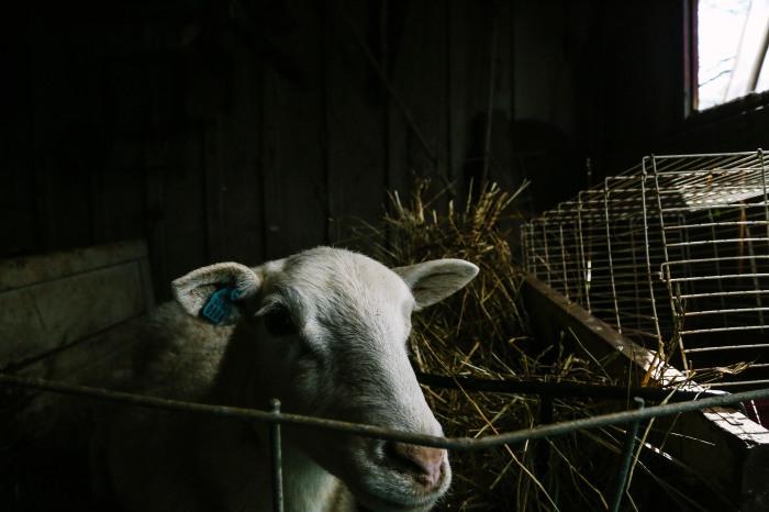 lamb25
